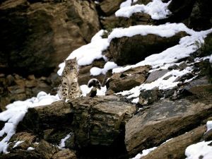 snow-leopard_1522_990x742